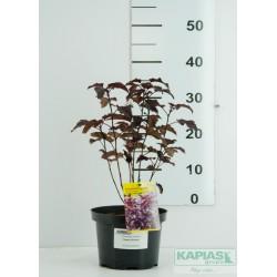Physocarpus opulifolius 'Sweet Dreams' PBR