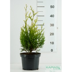 Thuja occidentalis 'Aureospicata'