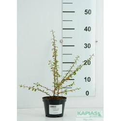 Cotoneaster suecicus x 'Coral Beauty'