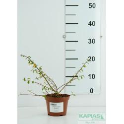 Cotoneaster suecisus x 'Skogholm'