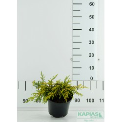 Juniperus communis 'Goldschatz'