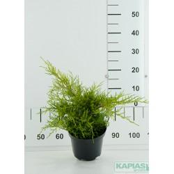 Juniperus pfitzeriana x 'Gold Coast'