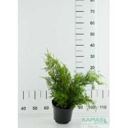 Juniperus pfitzeriana x 'Mint Julep'