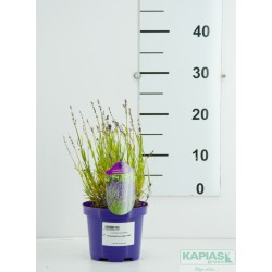 Lavandula angustifolia 'Thumbelina Leigh' PBR