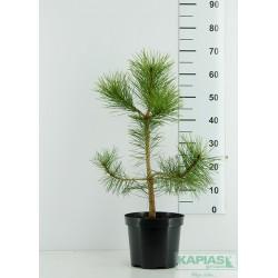 Pinus nigra subsp. nigra