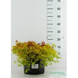 Spiraea japonica 'Goldmound'