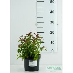 Spiraea japonica 'Crispa'