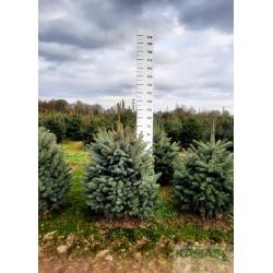 Picea pungens f. glauca