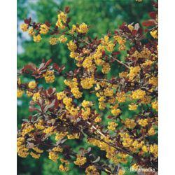 Berberis ottawensis x 'Superba'