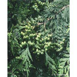 Thuja occidentalis 'Waxen'