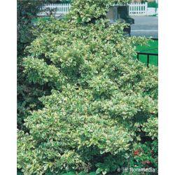 Euonymus fortunei 'Variegatus'
