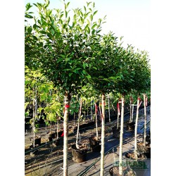 Prunus eminens x 'Umbraculifera'