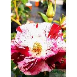 Rosa PURPLE SPLASH® 'Wekspitrib' PBR