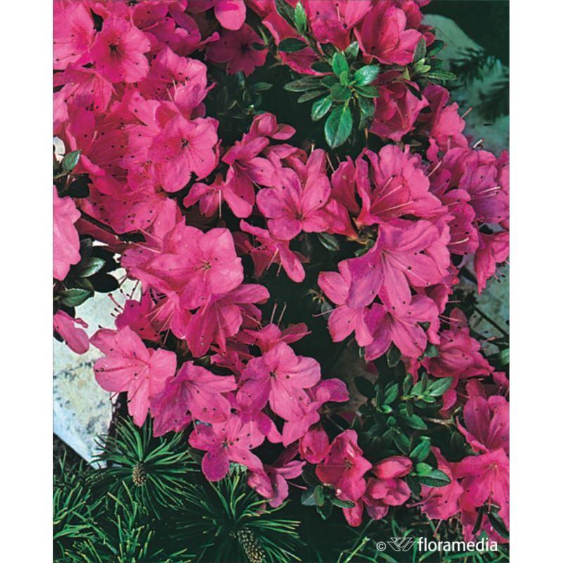 Azalea japonica 'Anne Frank'