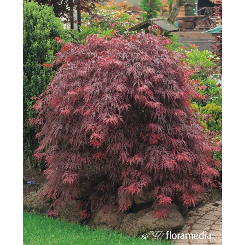 Acer palmatum 'Garnet'
