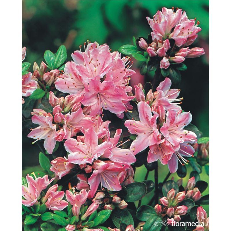 Azalea japonica 'Kermesina Rosé'