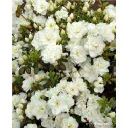 Azalea japonica SCHNEEPERLE 'Hachschnee'