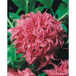 Rhododendron 'Blurettia'