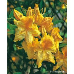 Rhododendron 'Goldpracht'
