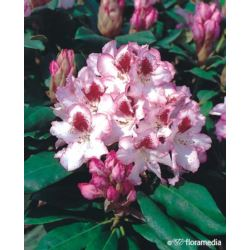 Rhododendron 'Hachmann's Charmant'