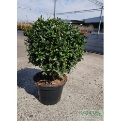 Buxus sempervirens - f. kula