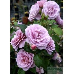 Rosa LADY PERFUME 'Jagoda'