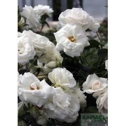 Rosa CITYFLOR 'Aspirin Rose'®