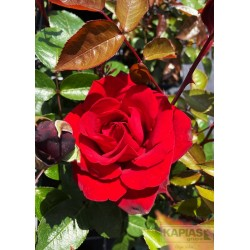 Rosa INGRID BERGMAN 'Poulman'