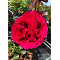 Rosa 'Katherine Renaissance'