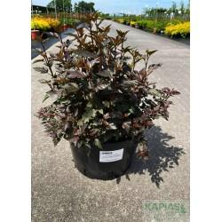 Physocarpus opulifolius LITTLE JOKER 'Hoogi021'