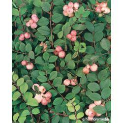 Symphoricarpos doorenbosii x 'Mother of Pearl'