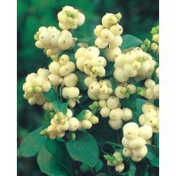 Symphoricarpos doorenbosii x 'White Hedge'