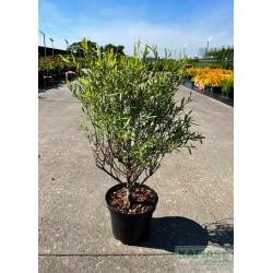 Salix purpurea 'Nana'