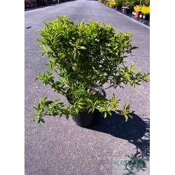 Forsythia viridissima 'Weber's Bronx'