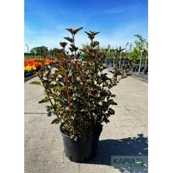 Physocarpus opulifolius 'Red Baron'