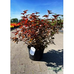 Physocarpus opulifolius DIABLE D'OR 'Mindia' PBR