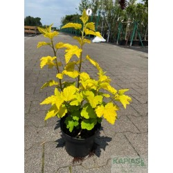 Physocarpus opulifolius 'Luteus'