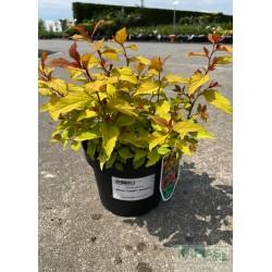 Spiraea japonica MAGIC CARPET 'Walbuma' PBR