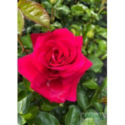 Rosa 'Avila Palace'®