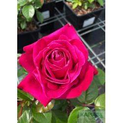Rosa SENTEUR ROYALE 'Tan97607' PBR
