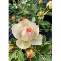 Rosa PASTELLA 'Tan98130'