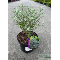 Caryopteris clandonensis STERLING SILVER 'Lissilv'