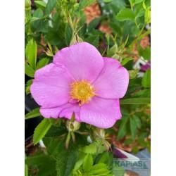 Rosa rugosa JAM-A-LICIOUS 'SPEKJAM' PBR