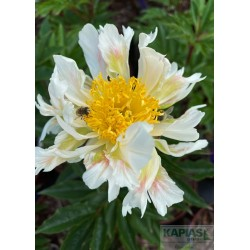 Paeonia 'Green Lotus'