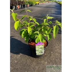 Viburnum plicatum f.tomentosum