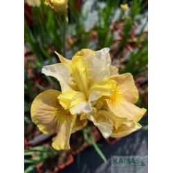 Iris sibirica 'White Amber' PBR