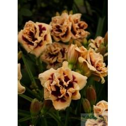 Hemerocallis 'Roswitha'