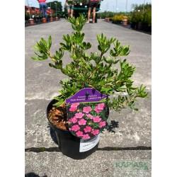 Potentilla fruticosa LOVELY PINK 'Pink Beauty' PBR