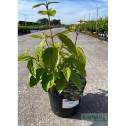 Viburnum plicatum 'Cascade'