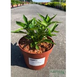 Echinacea 'Delicious Nougat'